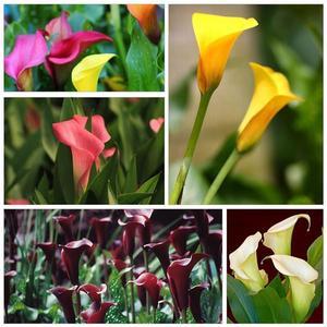 100Pcs Colorful Calla Lily Flower Seeds Potted Plant Bonsai Home Garden Decor