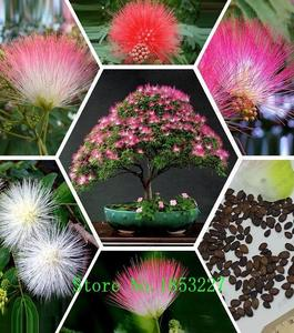 Bonsai Tree Pink Albizia Julibrissin Seeds