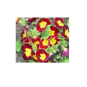 Original Primula Primrose Seeds - Indoor Blooming Bonsai Flower - Blood Red Color