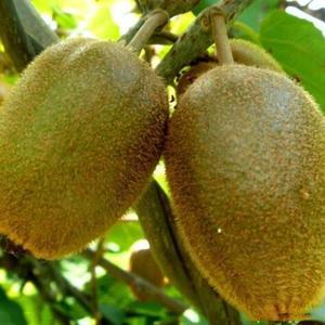 KIWI Seeds Actinidia Vine Seeds Healthy 100pcs/Bag Planting Sweet Fruit Plant Seeds Yard Bonsai Gardeing