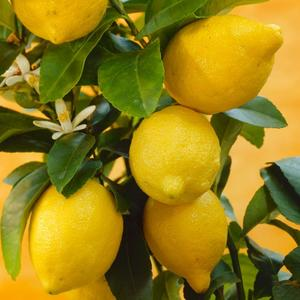 Lemon Seed Brown Seeds Precious Organic 10Pcs Exotic Bonsai Fruit Seeds Plants Home