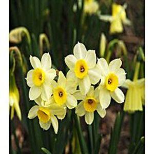Bonsai SeedsBeautiful Narcissus Flower Balcony Plant Seeds-White Yellow Shade