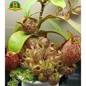 Eating Mosquito Carnivorous Nepenthes Plants Seeds