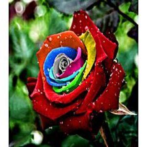 Bonsai SeedsRare Multi Color Rose Seeds