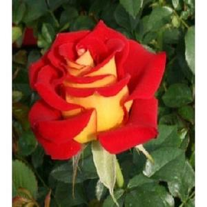 Holland Rare Red Yellow Rose Seeds Home Gardening