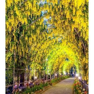 Unique Bonsai Yellow Wisteria Tree Seeds Indoor