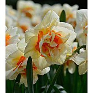 Bonsai SeedsBeautiful Narcissus Flower Balcony Plant Seeds-White Orange