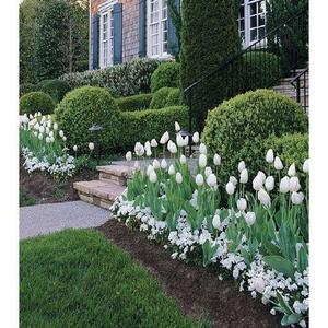 Rare Tulip Seeds- White
