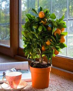 10 Seeds Citrus Bonsai Mandarin Orange Edible Fruit Bonsai Tree