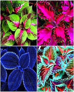 Beautiful Coleus Flower Seeds - Bonsai Flower Potted Plant