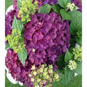 Rare Hydrangea Seeds- Purple