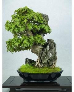 Green Japnese Maple Bonsai Tree Seeds