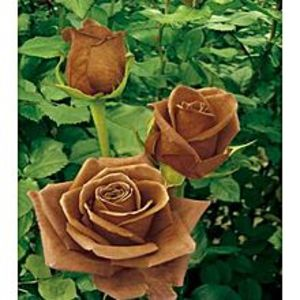 Bonsai SeedsRare Chocolate Color Imported Rose Seeds
