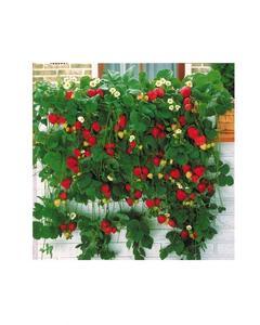 Strawberry Seeds Bonsai