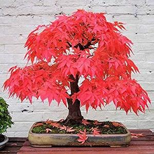 10pcs French red Maple Tree Seeds