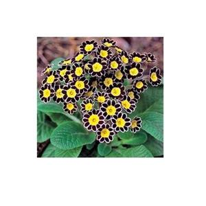 Original Primula Primrose Seeds - Indoor Blooming Bonsai Flower - Black & Yellow Color