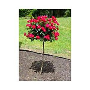 Books GalaxyDouble Red Yellow Rose Tree Seeds