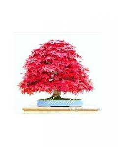 Red Maple Seeds Bonsai