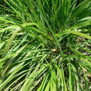 Fragrant 100pcs Lemongrass Herb Lemon Grass Cymbopogon Flexuosus Bonsai Seeds
