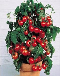 50 pcs New Outdoor Plants   Promotion Garden tomato seed Potted   Bonsai Balcony