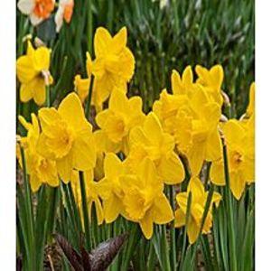 Bonsai SeedsBeautiful Narcissus Flower Balcony Plant Seeds-Yellow