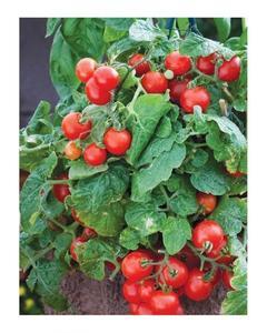 Tomato Seeds Bonsai Cherry Red
