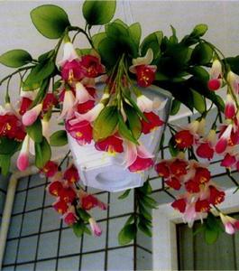 Bonsai Fuchsia Perennial Flowering Plants Seeds