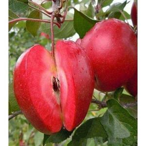 Rare Bonsai Red Apple