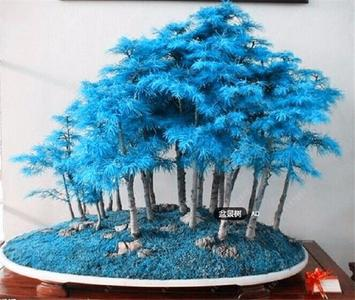 10pcs/bag blue Juniper Bonsai Tree Seeds Juniperus Potted Flowers