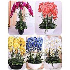 Mahogany SeedsBonsai Phalaenopsis Orchid Mix