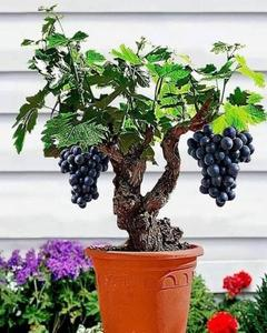 Miniature Grape Vine (10 Seeds) Home Garden Bonsai