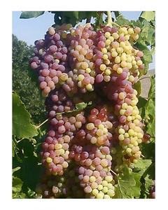 Green Grapes Seeds Bonsai With Purple Shades