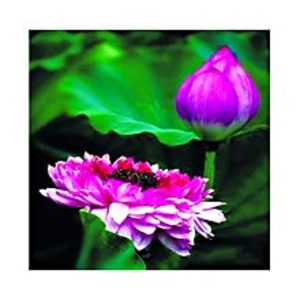 MomentousBonsai Bowl Light Purple Lotus Seed - Aquatic Plants Flower Seeds - Pot Water Lily Seeds For Home Garden