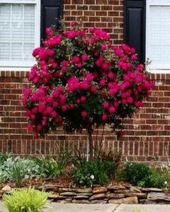 The Nursery Red Rose Tree Seeds