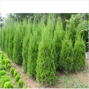 Cypress Trees Seeds Conifer Bonsai Seeds