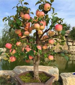 Bonsai Apple Tree Seeds