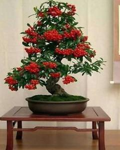 50 Pcs Balcony Flowers Indoor Potted Plants Pyracantha Bonsai Tree Seeds