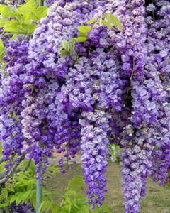 Blue Wisteria Seeds Rare Flower Bonsai