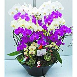 Bonsai SeedsButterfly Orchid Seeds Mixed Colors