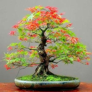 Bonsai Tree Seeds Maple Plants Seeds RARE Multi Colors 20Pcs/Bag Planting Easy To Grow Maple Tree Seeds Home Garden