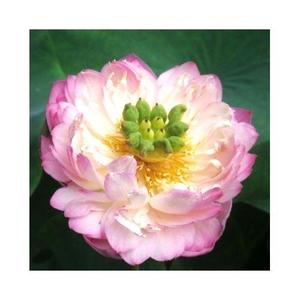 Bonsai Bowl Light Pink Lotus Seed - Aquatic Plants Flower Seeds - Pot Water Lily Seeds For Home Garden