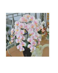 Rare Orchid Bonsai Flower Seeds, Butterfly Orchid, Pink & White Color