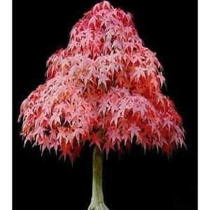 100% True Japanese Red Maple Bonsai Tree Seeds