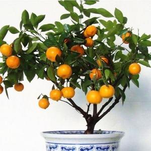 30Pcs Edible Fruit Citrus Orange Tree Seeds Planting Bonsai Home Garden Plants