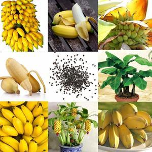 Seeds Banana Tree Seed Dwarf Garden Organic Home Bonsai Garden Fruit Plant Exotic Plants