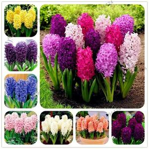 100pcs Mixed Color Hyacinth Seeds Bonsai Plant Flower Seed