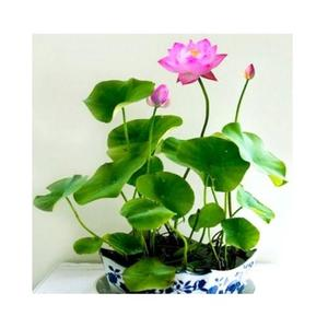 Bonsai Bowl Pink Lotus Seed - Aquatic Plants Flower Seeds - Pot Water Lily Seeds For Home Garden