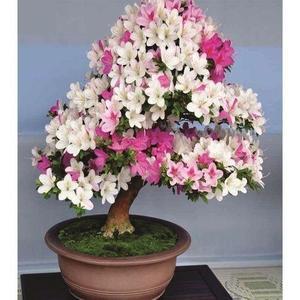 Rare Bonsai White & Pink Azalea Seeds