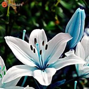 Easy Shop PakistanBlue Heart Lily Plant Seeds Potted Bonsai Plant Lily