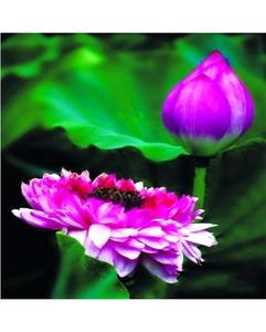 Bonsai Bowl Light Purple Lotus Seed - Aquatic Plants Flower Seeds - Pot Water Lily Seeds For Home Garden